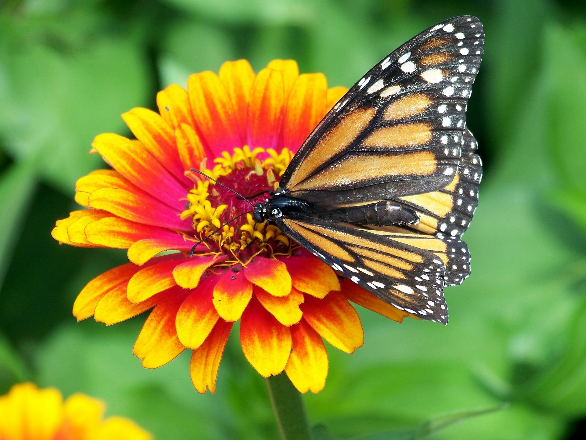 vlinder op oranje bloem